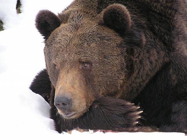 bear-99585_1280