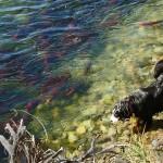 鱖魚群〜さけのうおむらがる〜 2014年二十四節気七十二候