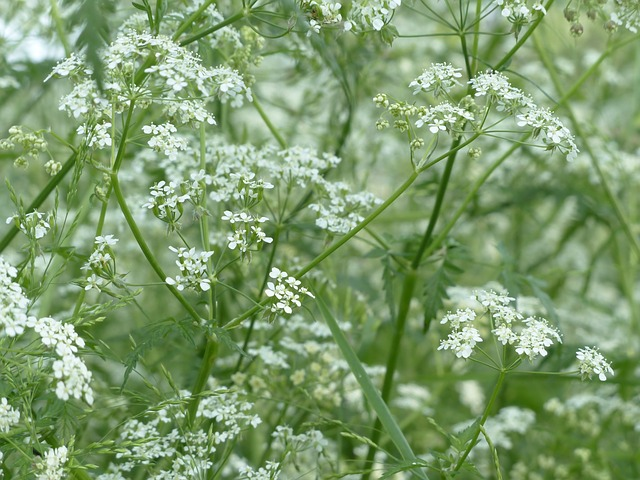 cow-parsley-116315_640