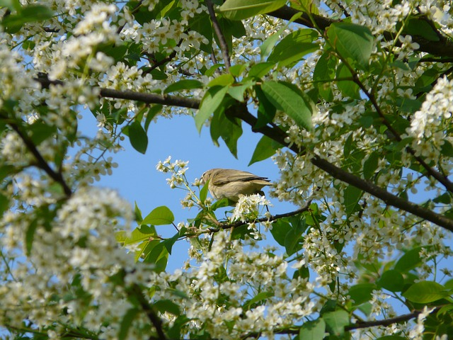 common-bird-cherry-6922_640