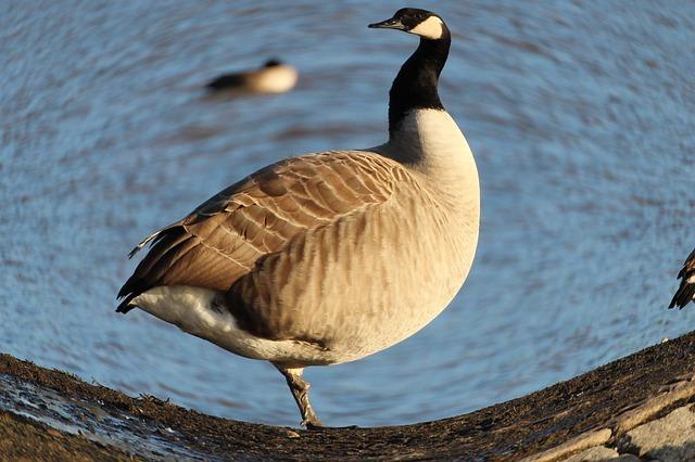 canada-goose-245639_640