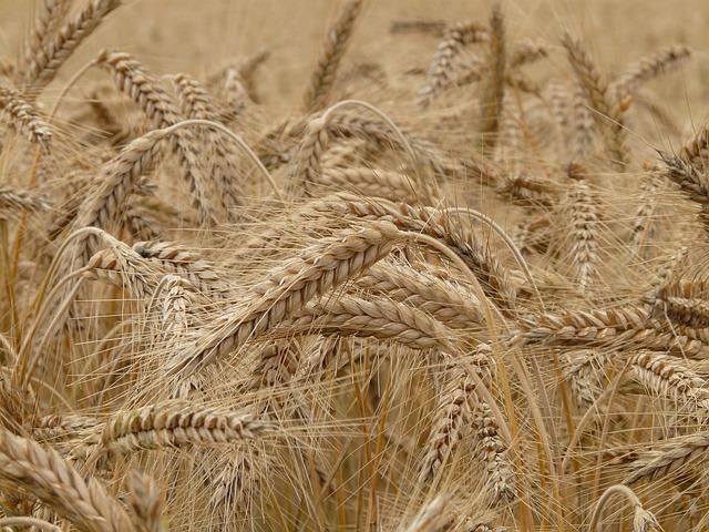 wheat-8762_640