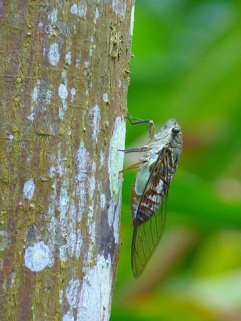 cicada-43132_640
