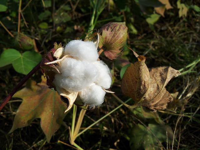 cotton-187782_640