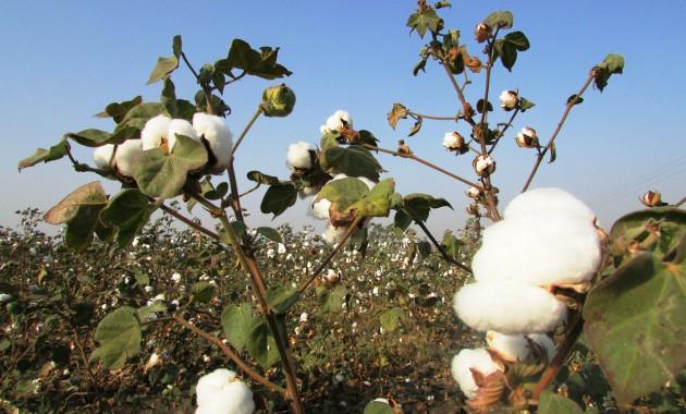 cotton-crop-265312_1280