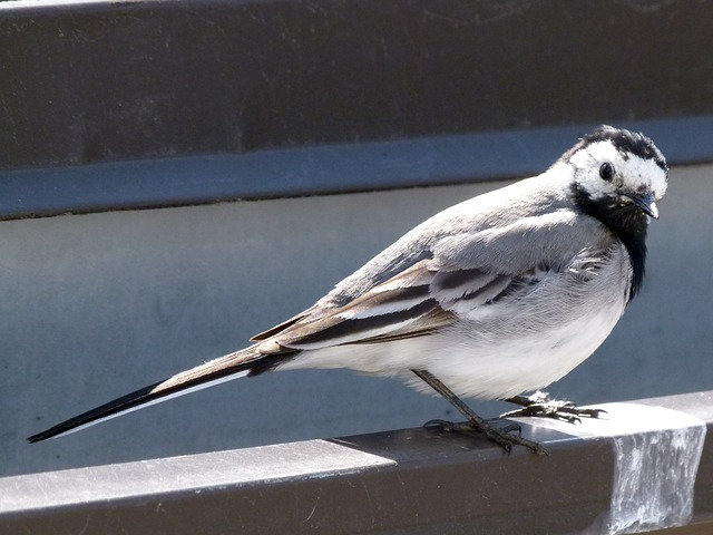 wagtail-787583_640