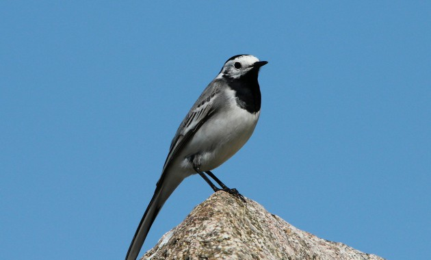 white-wagtail-333776_1280