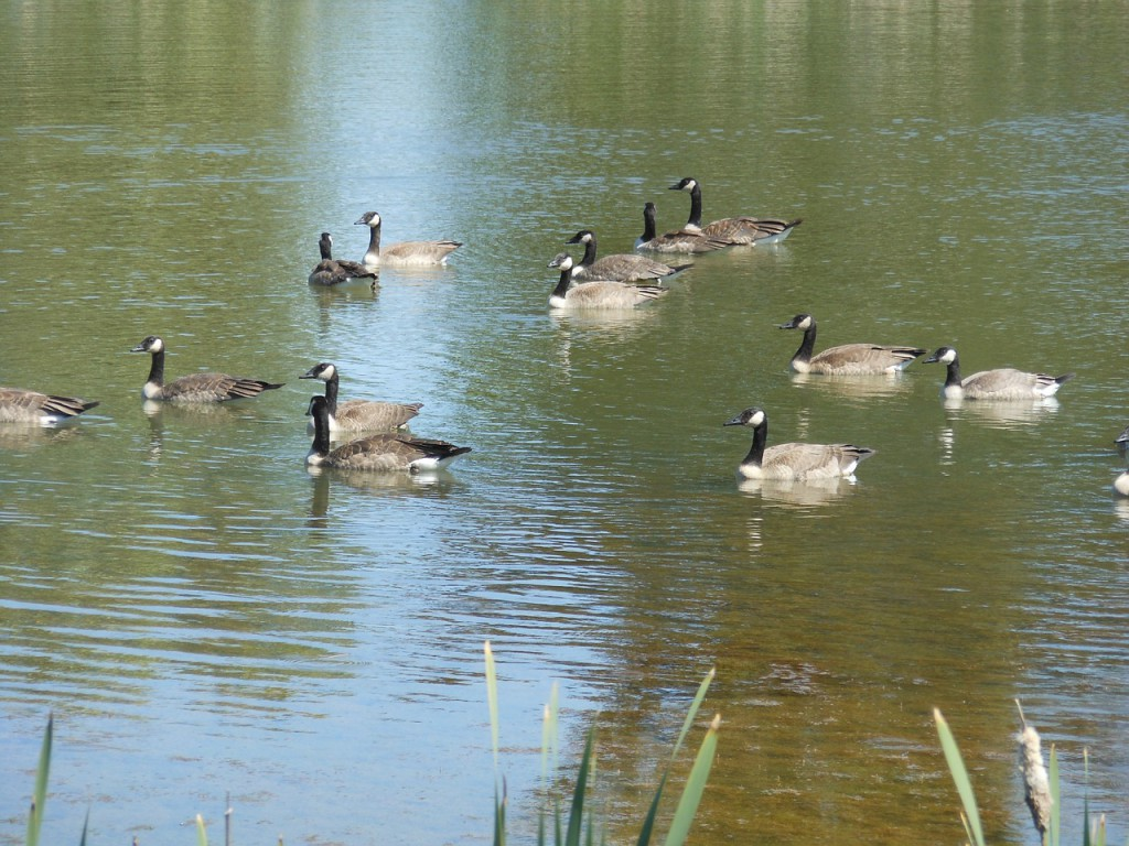 geese-896181_1280