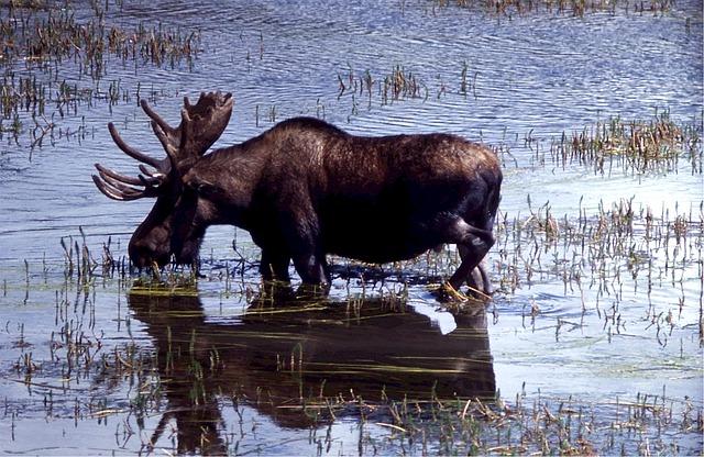 moose-518783_640