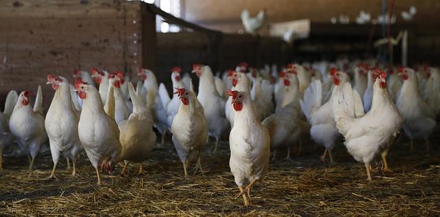 chicken-624977_640