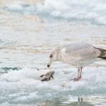 魚上氷〜うおこおりをはいずる〜 2017年二十四節気七十二候