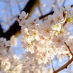 桜始開〜さくらはじめてひらく〜