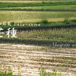 芒種(ぼうしゅ) 2017年二十四節気七十二候