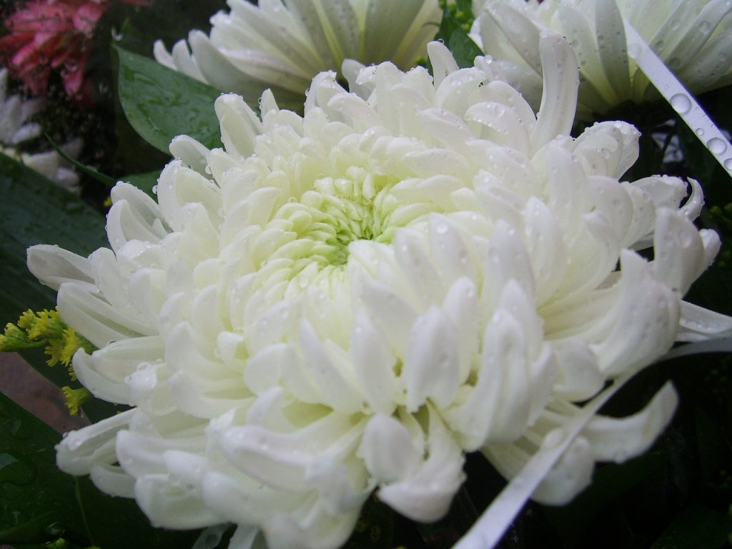 chrysanthemum-20323_1280